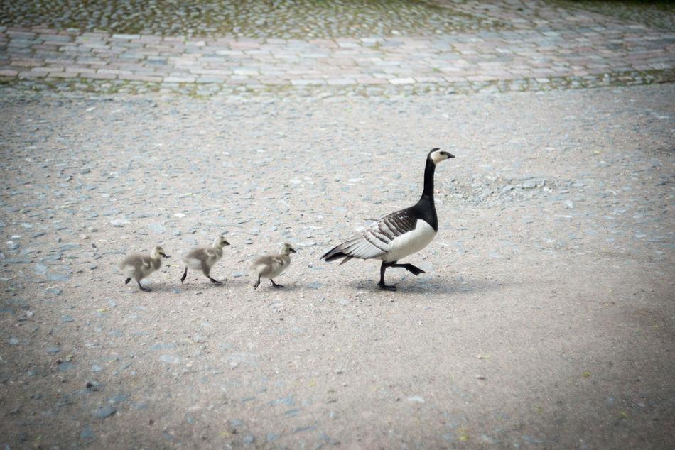 Animal Animal Themes Avian Bird Goose Goslings Nature No People Outdoors Road Selective Focus Walking Wild Goose  Wildlife Young Goose Nature's Diversities The Essence Of Summer