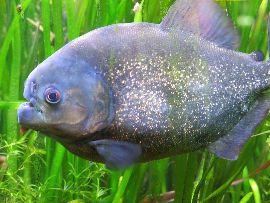 Piranhas Fish Aquarium Life Switzerland Underwater