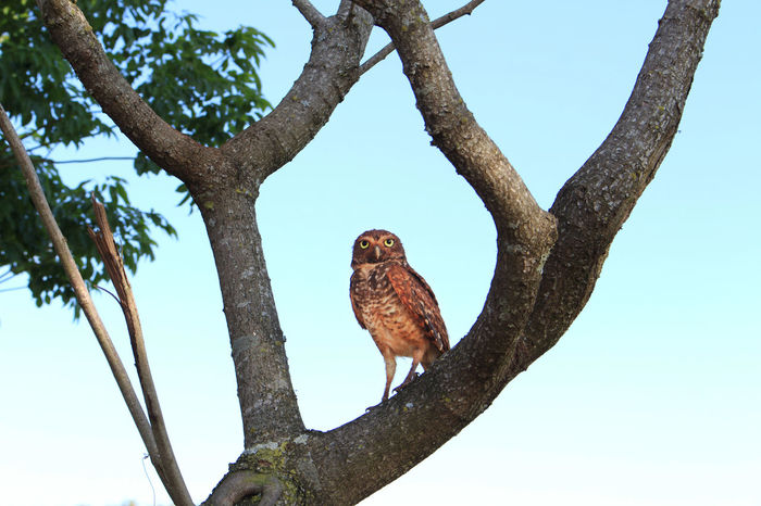 Tree Bird One Animal Sky Animal Wildlife Animals In The Wild Nature Owl Canon Canon_official Owllife OWL Shoot Owls💕 Owl Photography Beautiful ♥ Beautiful Canonphotography Beauty In Nature Nature Animals In The Wild Fragility