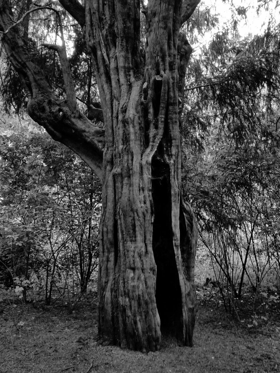 tree, tree trunk, nature, tranquility, day, no people, growth, forest, outdoors, branch, beauty in nature