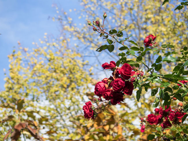 Red roses vs. fall foliage Backgrounds Beauty In Nature Close-up Colorful Contrasting Colors Copy Space Day Flower Flower Head Foliage Fragility Freshness Growth Leaf Nature Red Tree Yellow