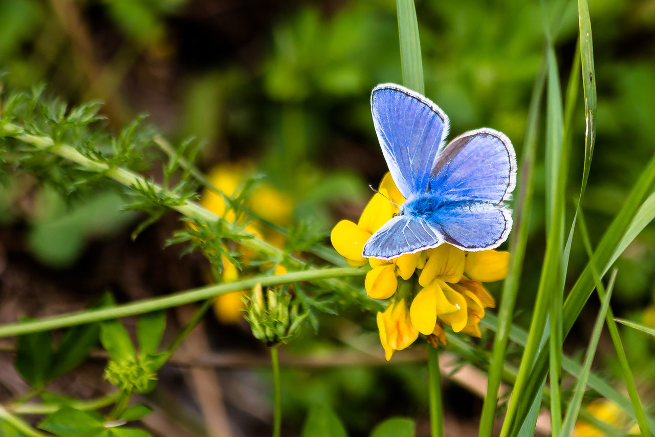 flower, nature, beauty in nature, fragility, one animal, plant, animal themes, growth, no people, insect, flower head, petal, outdoors, focus on foreground, day, animals in the wild, yellow, freshness, butterfly - insect, blue, close-up
