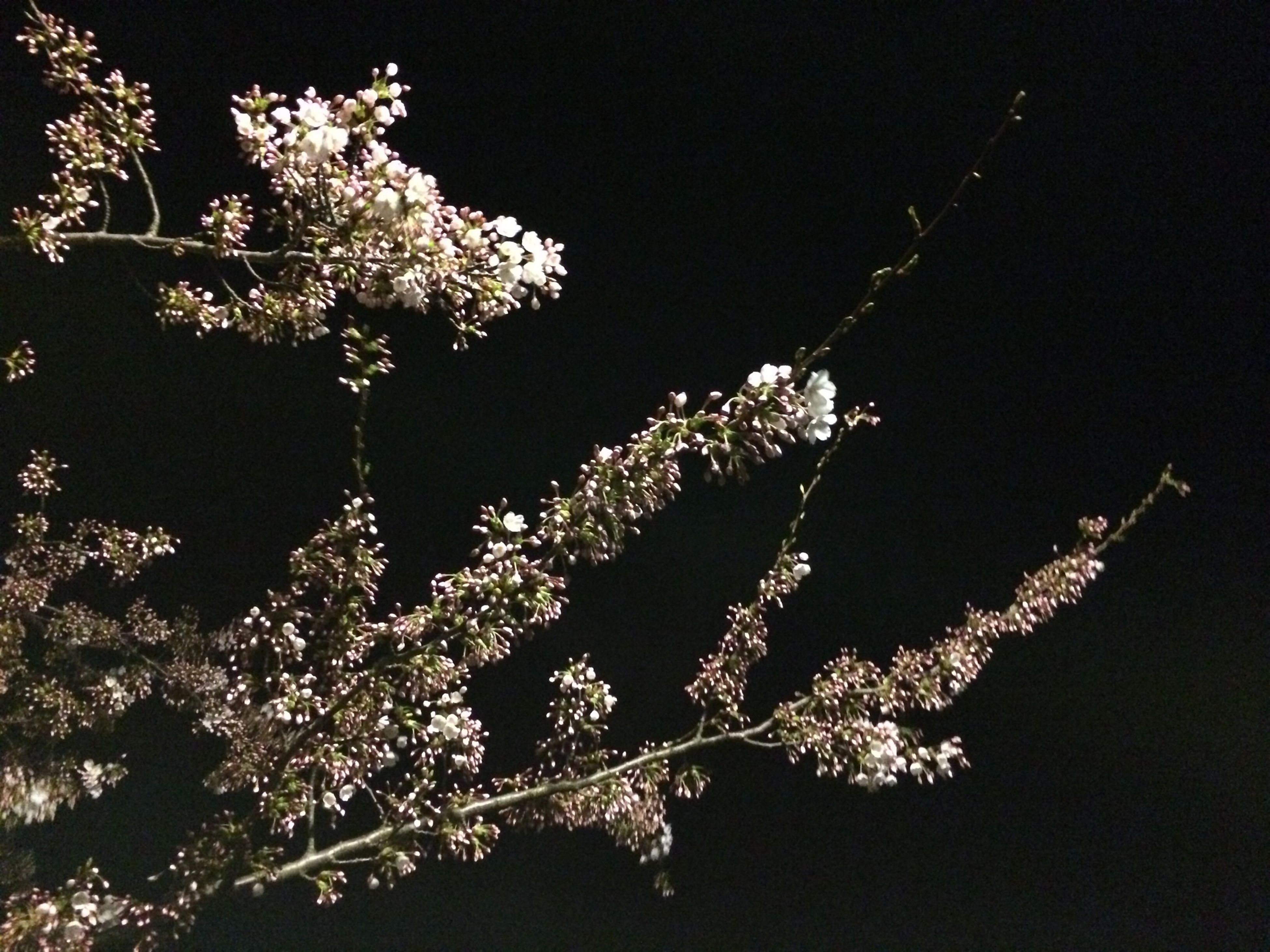 tree, branch, night, low angle view, growth, nature, beauty in nature, illuminated, flower, outdoors, clear sky, tranquility, no people, freshness, sky, plant, twig, fragility, blossom, lighting equipment