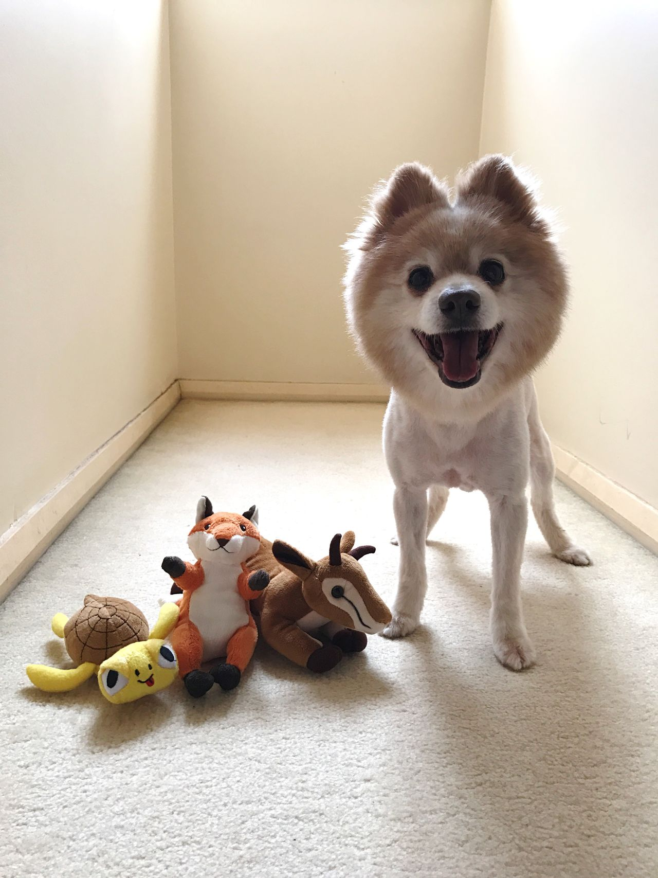 Pets Dog Domestic Animals Animal Themes Looking At Camera Home Interior Portrait Mammal Indoors  No People Full Length Stuffed Toy One Animal Day