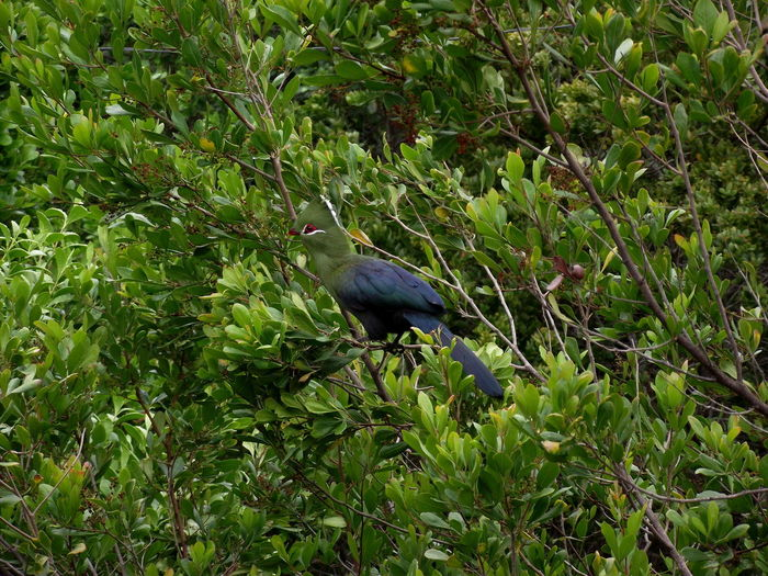 Another photo of a Knysna Turaco in Nature's Valley, South Africa. Bird Turaco Green Tree Green Color Bird Beauty In Nature Water Outdoors Nature