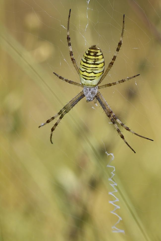 Wasp-Spider (Argiope bruennichi) Beauty In Nature Close-up Day Focus On Foreground Natural Pattern Nature No People Outdoors Selective Focus Sky Spinning Web