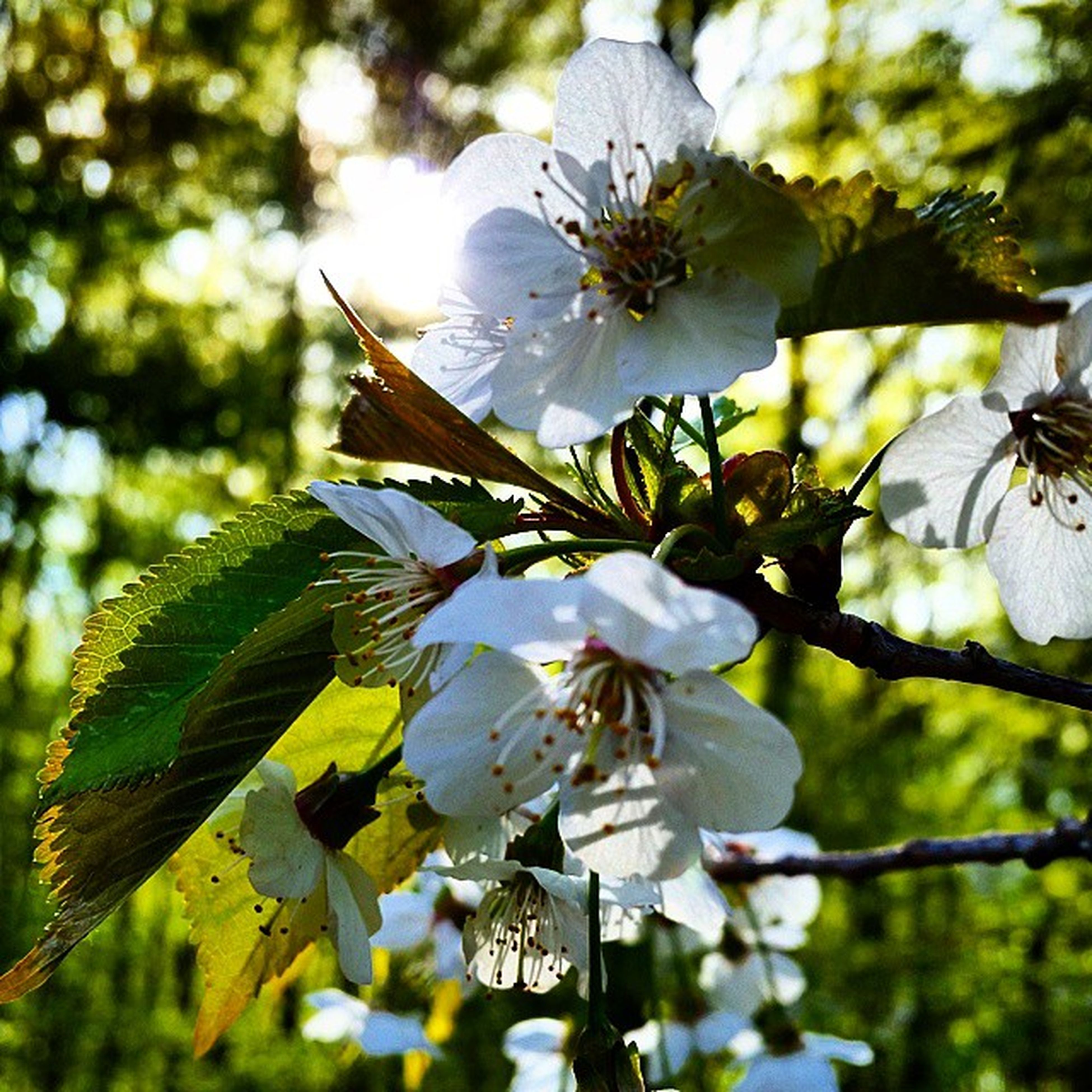 flower, freshness, growth, fragility, branch, tree, low angle view, petal, focus on foreground, beauty in nature, nature, blossom, white color, leaf, in bloom, close-up, blooming, cherry blossom, flower head, springtime