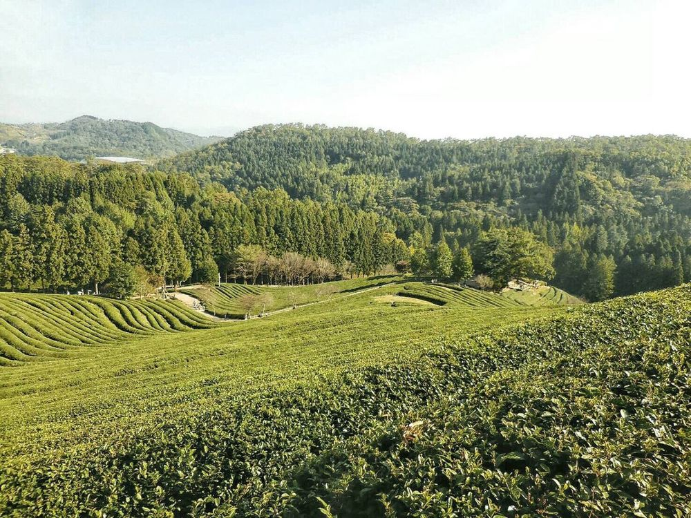 Korea Jeonju Boseong Green Tea Farm Greentea Farm Green