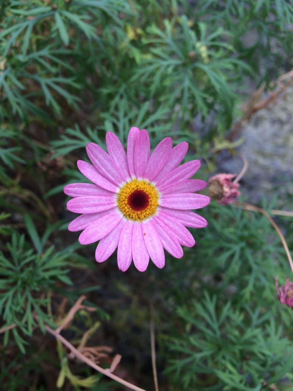 Argyranthemum frutescens Plants Model Plant Pink Flower Pink Green Urban Gardening Summer Flowers Nature