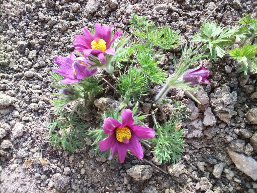Pulsatilla Flowers Blossom Blooming EyeEm Nature Lover No People Close-up Spring Sony Xperia M2 Mobile Photography Hungary Urban Spring Fever No Edit/no Filter Outdoors Nature_collection Pink Nature Flower Petal Flowerhead Garden Photography Flower Photography Nature Photography Pink Flower Simplicity Millennial Pink
