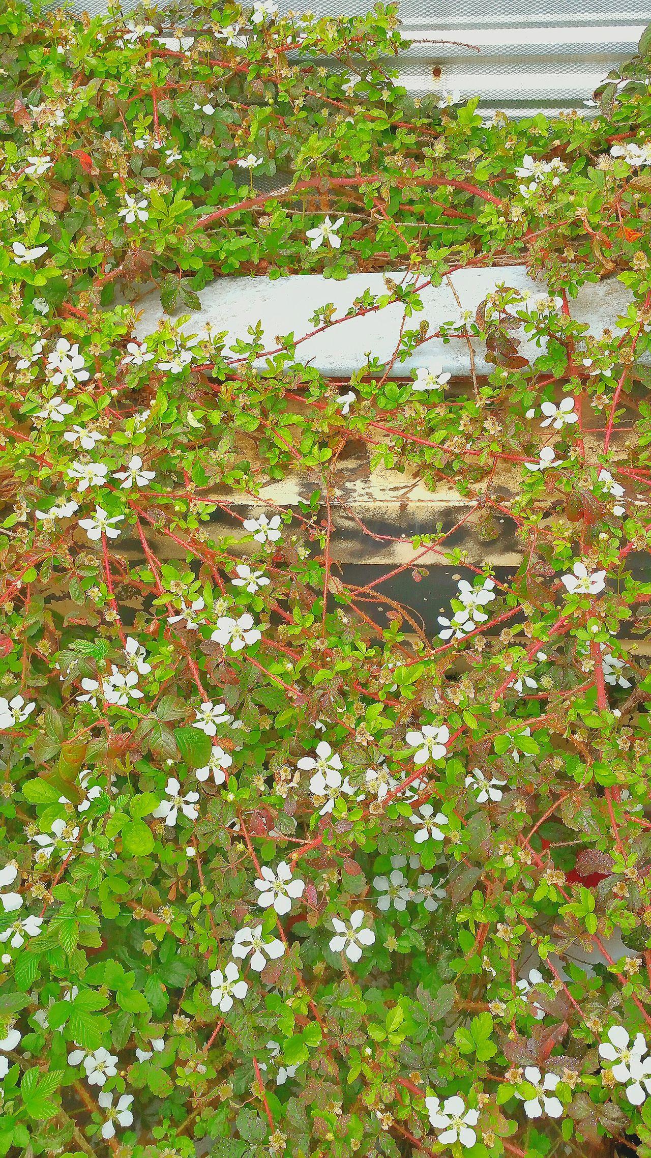 Urban Spring Fever Vines Wild Blackberry Flowers Of EyeEm Determination Growing Over Building Dew Berries Metal Building Red Vines Watch For Thorns Springtime Flowers