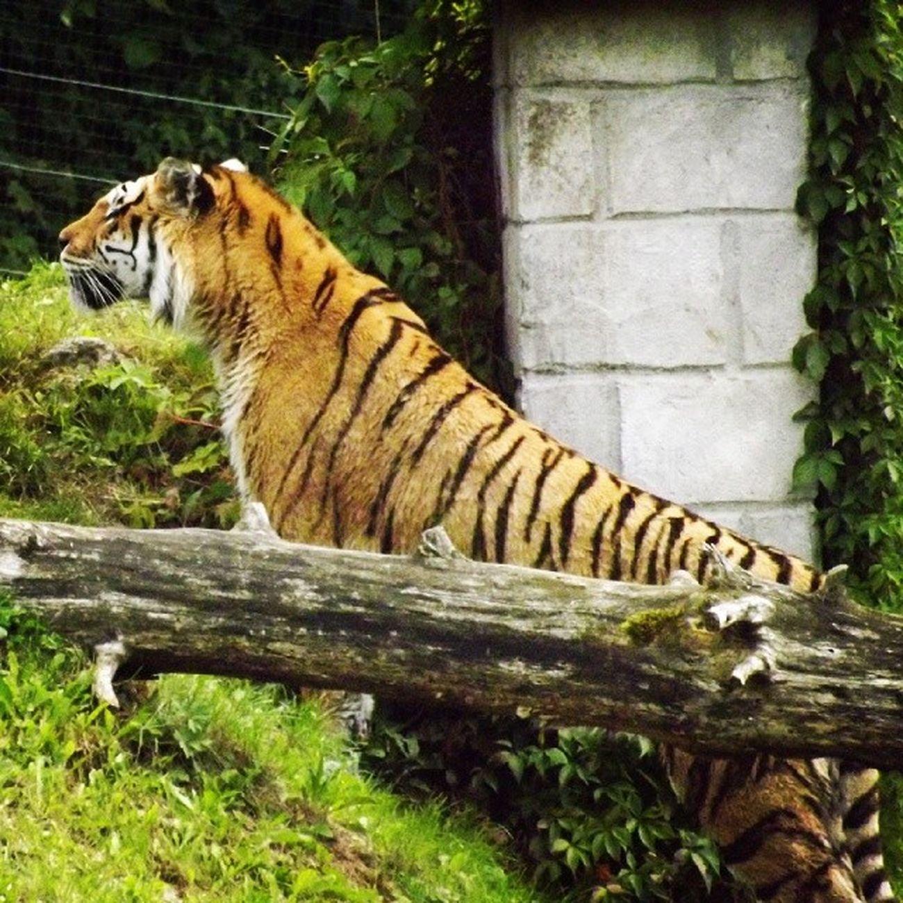 Tiger bellewardparc TKPhotography