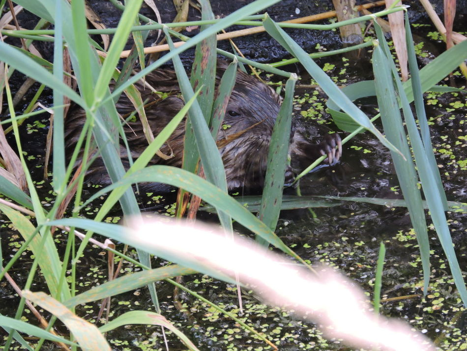 Muskrat Backgrounds Beauty In Nature Close-up Day Full Frame Grass Green Color Growth Mammel Nature No People Outdoors Plant Selective Focus Tranquility