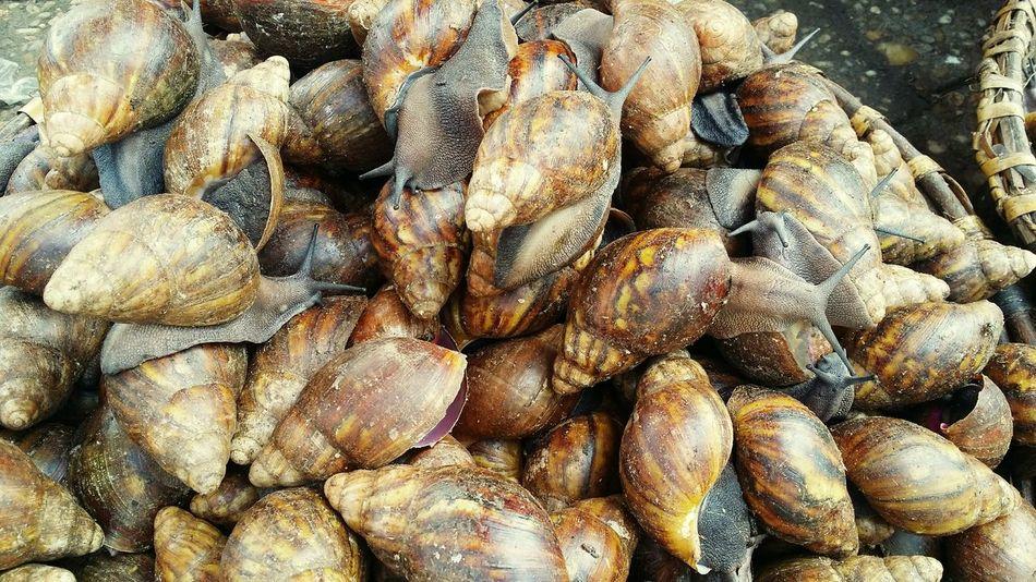 Escargot Giants Animals Aftican Africa Brown Live Alive  Marketplace Benin Exotic Food Food