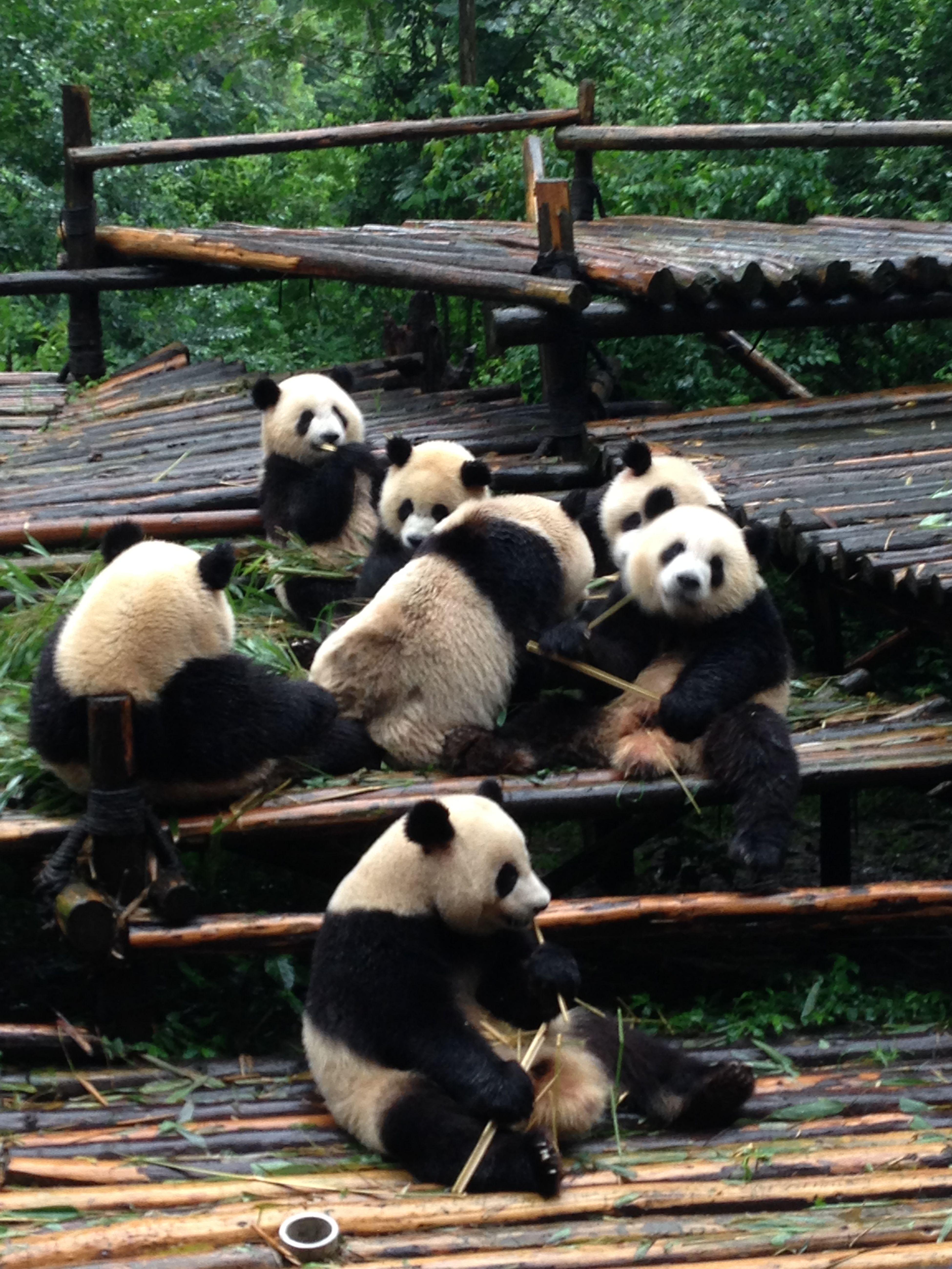 Pandas Chengdu Animals