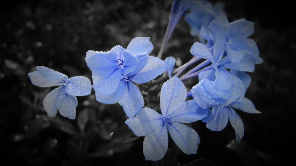 Beautiful Blueflowers Enjoying Life At1st Jan 2016😍 Hanging Out !!!captured at Pastel Power Check This Out Onvacation On Horsely Hills,madanapalli,Ap,India RePicture Travel