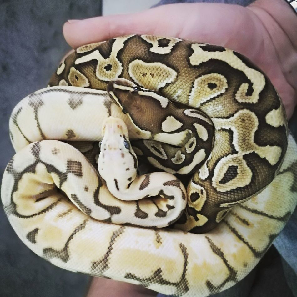 Close-up Reptile Animal Themes Nature Animal Scale No People Animal Snakes Are Beautiful Beauty In Nature Tranquility Pythons Snake Eyes Snakes♥ Urban Wildlife Animal Wildlife Animals In The Wild