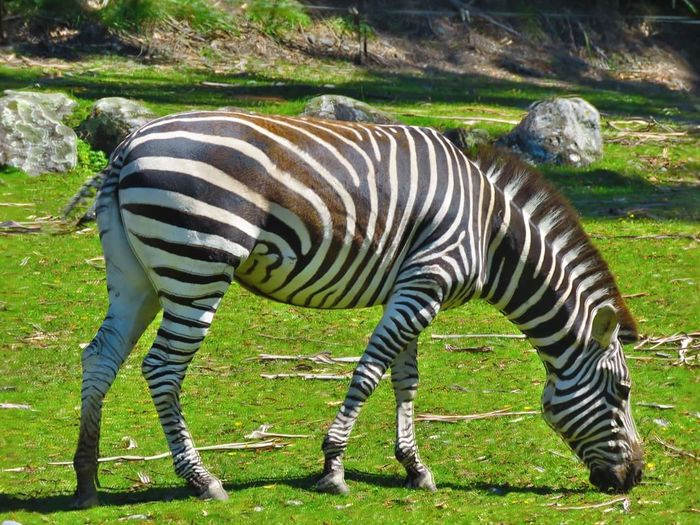 Striped Animal Themes Zebra Grass Nature Grazing Outdoors Animal Wildlife Beauty In Nature