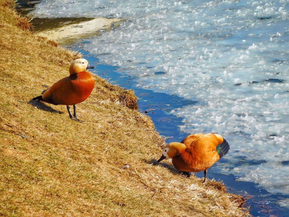 Animal Themes Animals In The Wild Beauty In Nature Bird Close-up Cold Temperature Day Duck Ducks Ducks At The Lake Grass High Angle View Ice Iced Lake Nature No People Outdoors Springtime Sunny Day Water