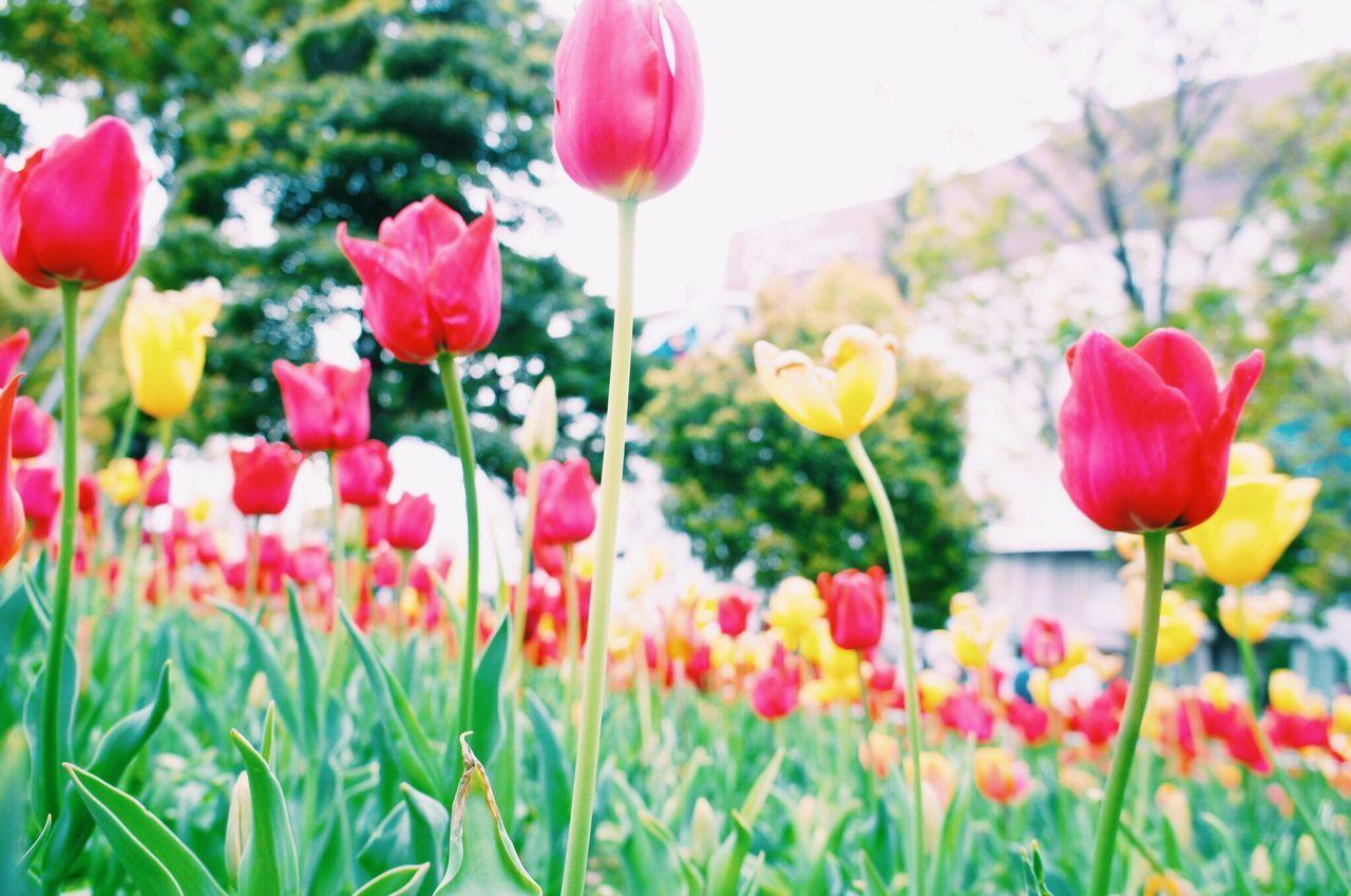 桜もいいけど、チューリップもきれいだな❤️ Spring Tulip Flowers 花 Vscocam Japan