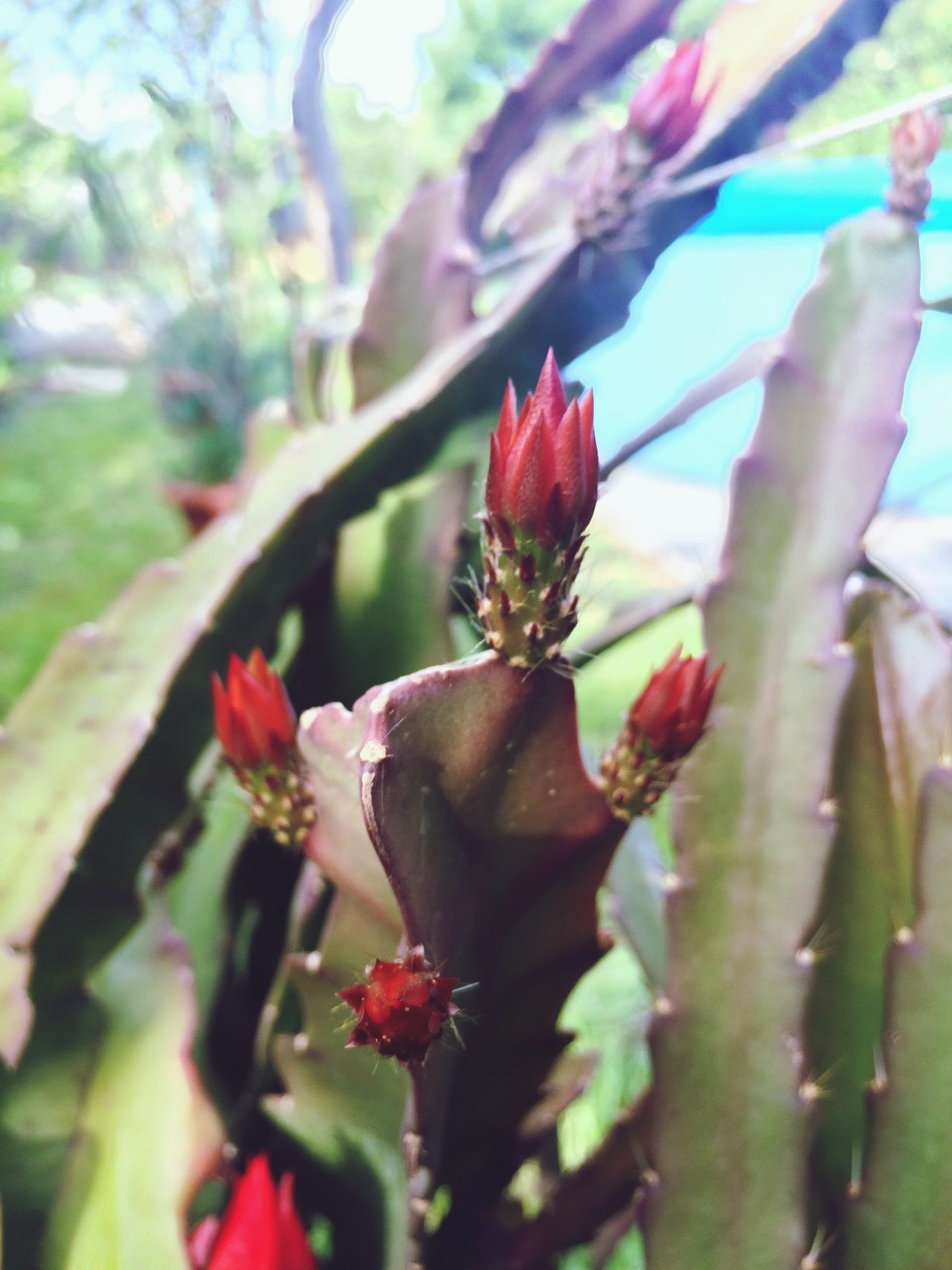 Cactus flowers looks like a fire Flame Fire Cactus Cactus Flower Cactus Garden Flowers Flame Flower Garden Photography Beauty In Nature Nature_collection Nature Photography Flowers,Plants & Garden Garden Red Red Flower