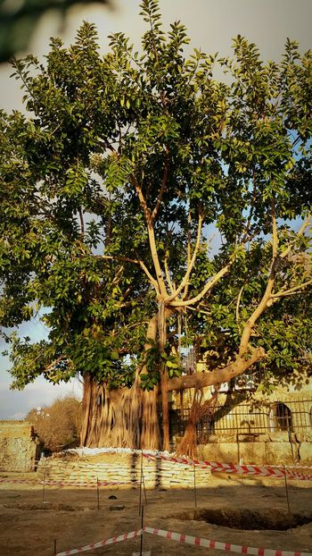 Bu agac kac yasinda bilinmiyor..how old is this tree just dont know .. Tree Art Old Tree Trees Tree And Sky DontKnow Naturelovers Natural Beauty! Beautiful Nature Beautiful Photography