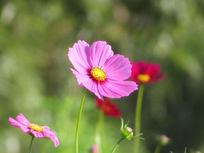 Flower 花 コスモス 秋桜 Cosmos Nature Cosmos Flower