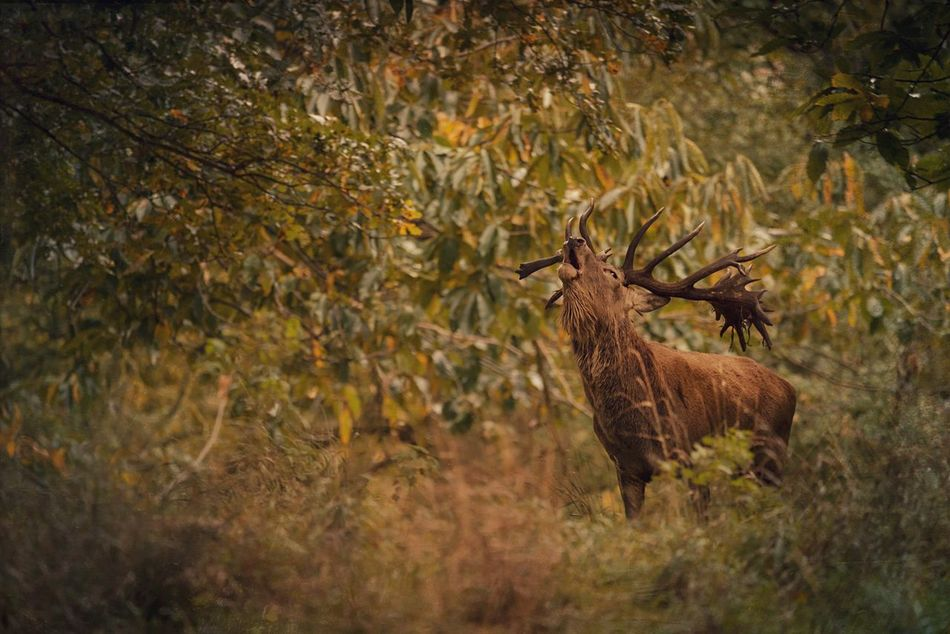 Call of the Wild Animals In The Wild Animal Themes One Animal Stag Beauty In Nature Nature TreePorn Landscape Landscape_photography Scenics Animal Photography Norfolk Holkham Nature Photography Rutting Season Autumn My Year My View