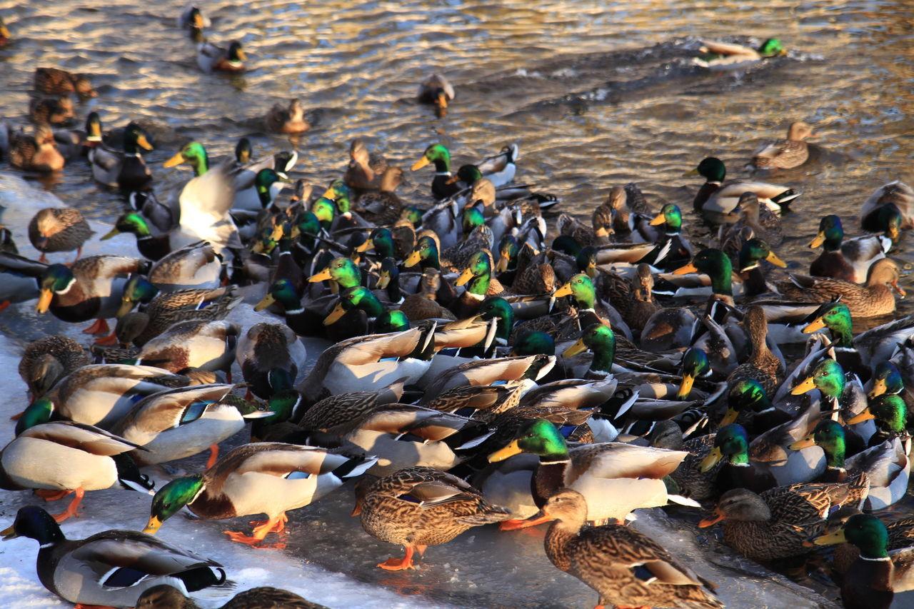 Side View Of Ducks In Frozen Lake