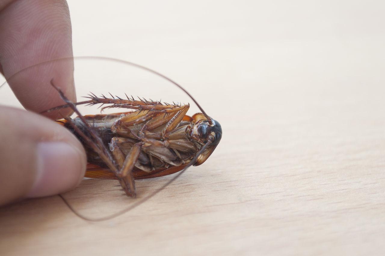 Beautiful stock photos of cockroach,  Animal Antenna,  Animal Themes,  Close-Up,  Cockroach