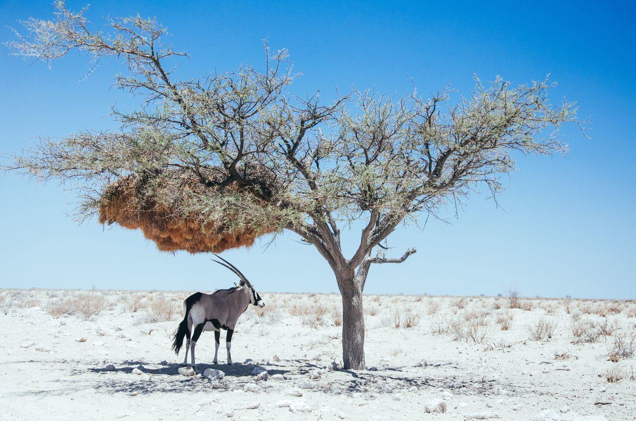 oryx @ etosha Animals in the Wild Namibia Etoscha Natiolpark oryx antelope