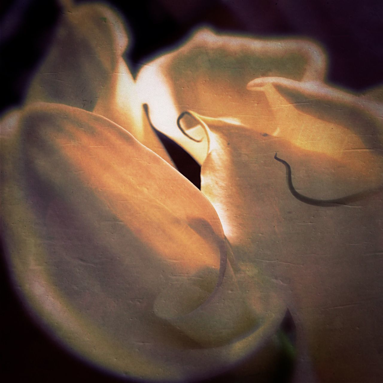 Close-up No People Nature Beauty In Nature Growth Fragility Freshness Outdoors Flower Head Day Calla Lily