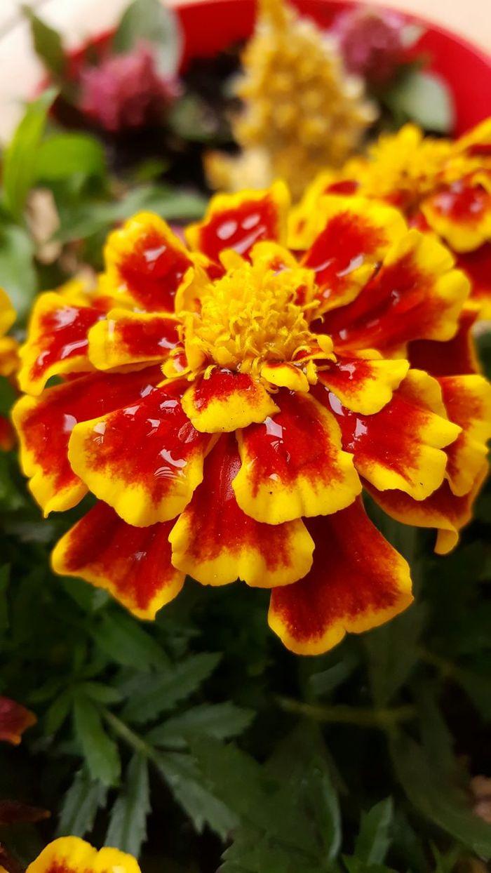 Mother's Day Flowers Spring Mothersday Flowers Garden Gardening Pottedplants Redandyellow Beautiful Beautyinnature  Beauty Petals