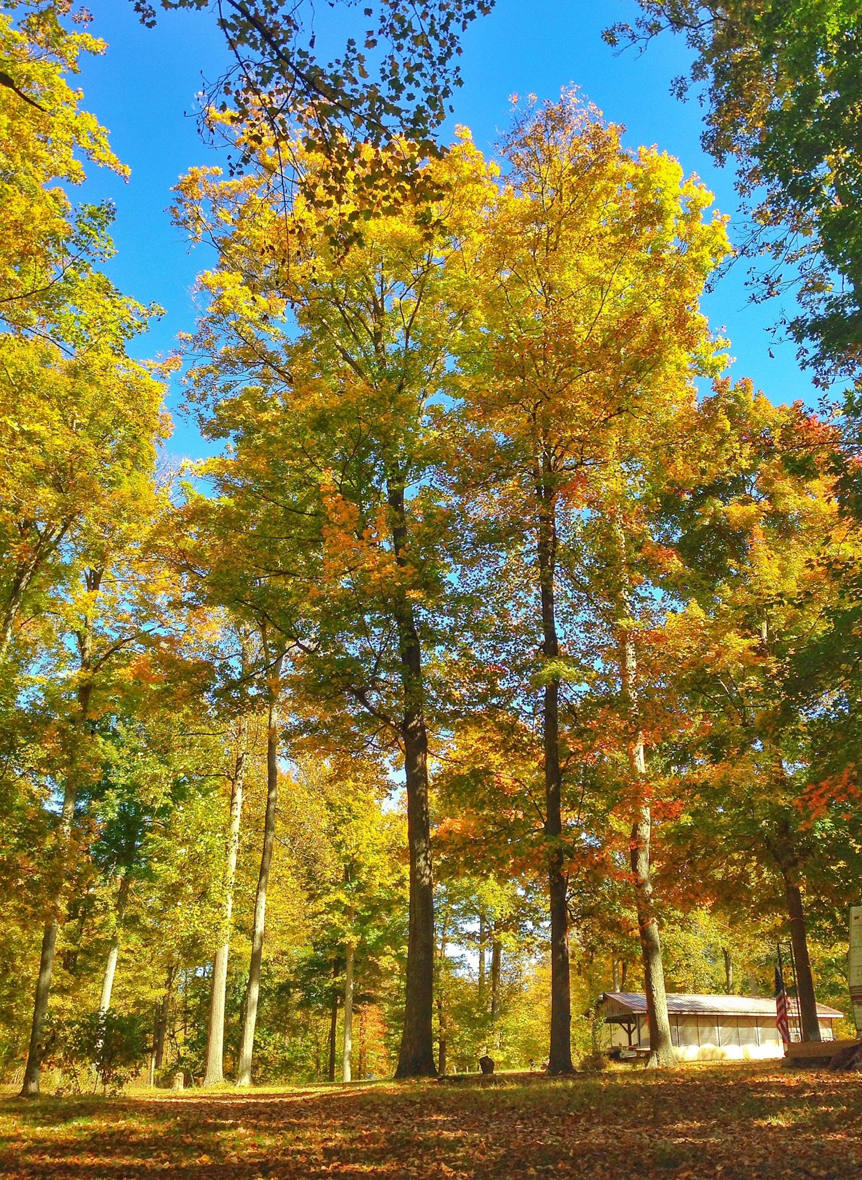 tree, autumn, change, growth, tranquility, season, beauty in nature, nature, tranquil scene, clear sky, yellow, scenics, branch, sunlight, landscape, day, green color, park - man made space, sky, lush foliage