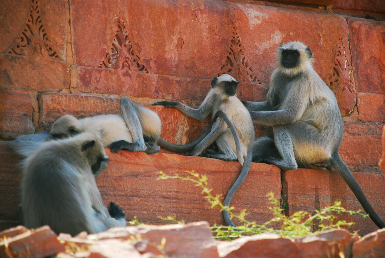 Langur Monkey Family - Jodhpur, Rajasthan, India. Nature Wildlife Solidarity Help Clean Relaxing Moments
