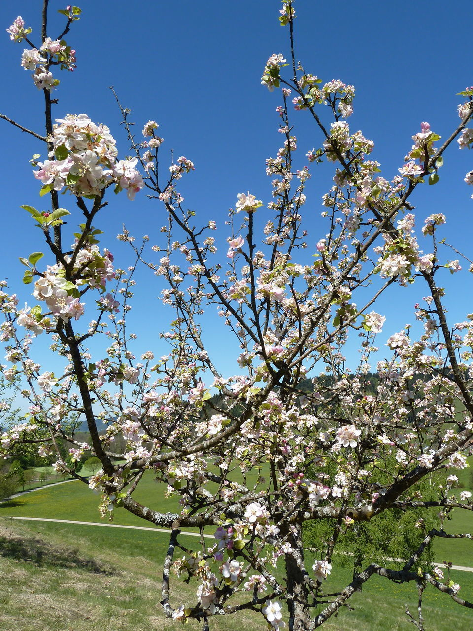 flower, blossom, growth, nature, fragility, apple blossom, tree, branch, beauty in nature, apple tree, springtime, botany, cherry tree, orchard, freshness, spring, no people, white color, clear sky, blooming, petal, day, outdoors, flower head, close-up