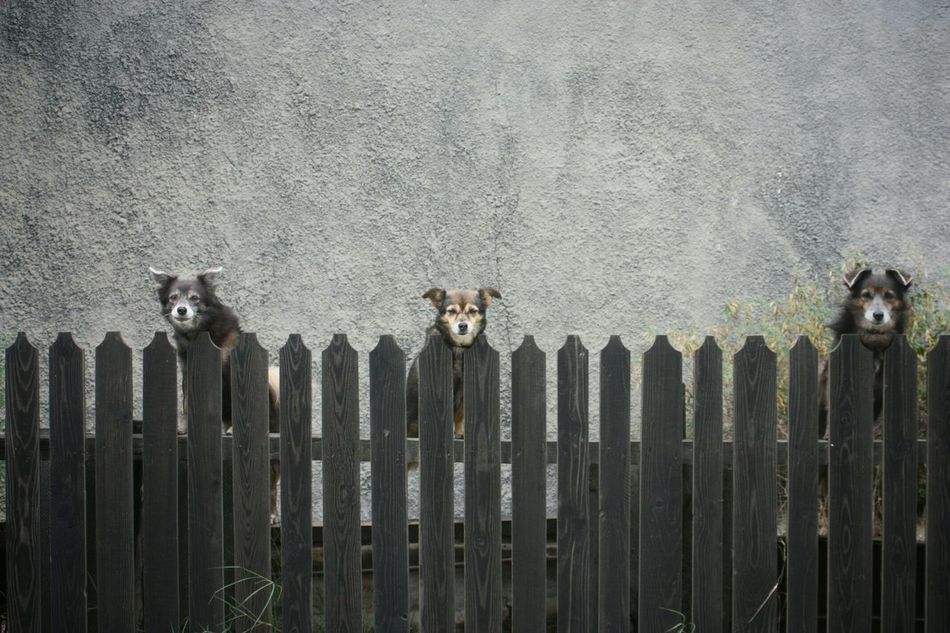 The 3 Dogs behind a Fence. Sfântu Gheorghe , Romania . EyeEm Best Shots EyeEm Animal Lover