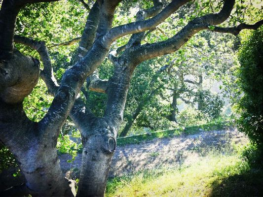 Trees at Carmel CA by Koduckgirl