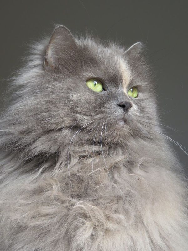 Beautiful Ofelia Domestic Cat Long Haired Cat Persian Mix Cat Beauty Soft Sweet Pet Photography  Pet Love Softness Cat Lovers Pets Big Love Soft Lines Kitty Most Beautiful Cat In The World Pets Photography Yellow Eyes Softness Always