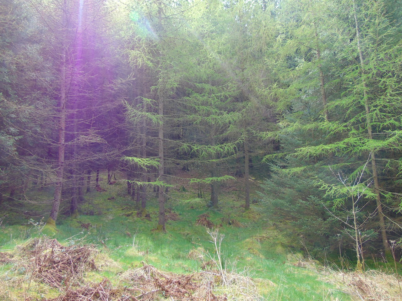 forest, nature, tree, no people, outdoors, beauty in nature, day, tranquil scene, landscape, tranquility, growth, scenics, grass