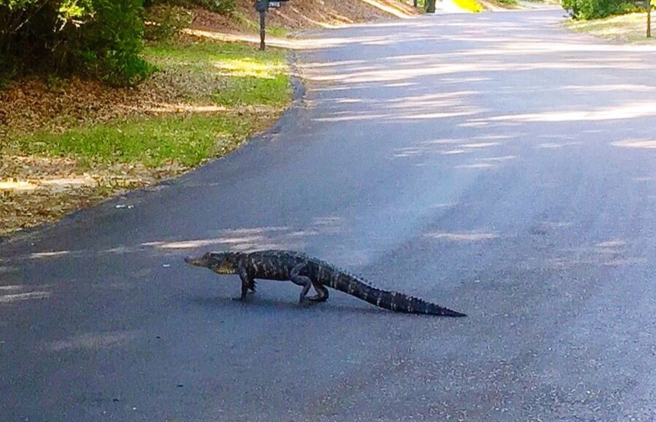 Pedestrians on the island --alligators always have Rightofway Animals In The Wild Animal Themes Reptile Animal Wildlife Day Alligator Outdoors Crocodile No People Road Nature Water Mammal Iguana Southcarolina Seabrook Island