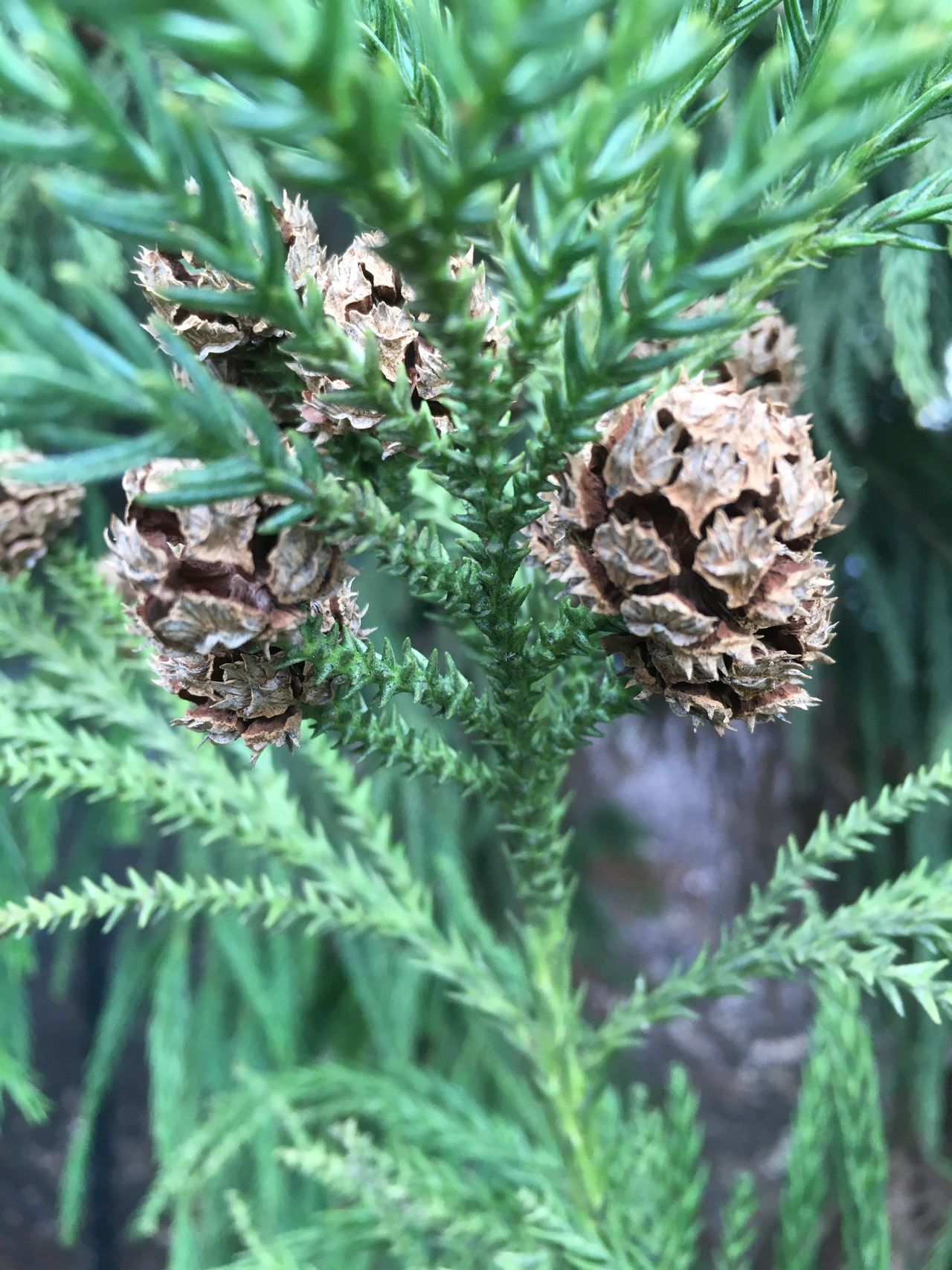 Greenery and cones. Growth Green Color Nature Plant Close-up Outdoors No People Leaf Beauty In Nature Flora Coniferous Tree Evergreen Conifer  Close Up Branch Needle Cone Pine Fir