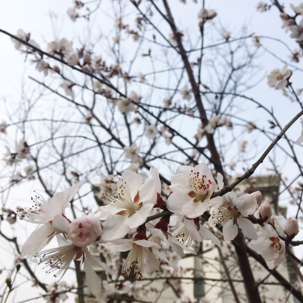 flower, tree, fragility, blossom, beauty in nature, cherry blossom, branch, growth, springtime, nature, apple blossom, petal, freshness, apple tree, botany, cherry tree, orchard, white color, magnolia, twig, flower head, no people, blooming, day, plum blossom, selective focus, low angle view, spring, stamen, close-up, pink color, outdoors, sky