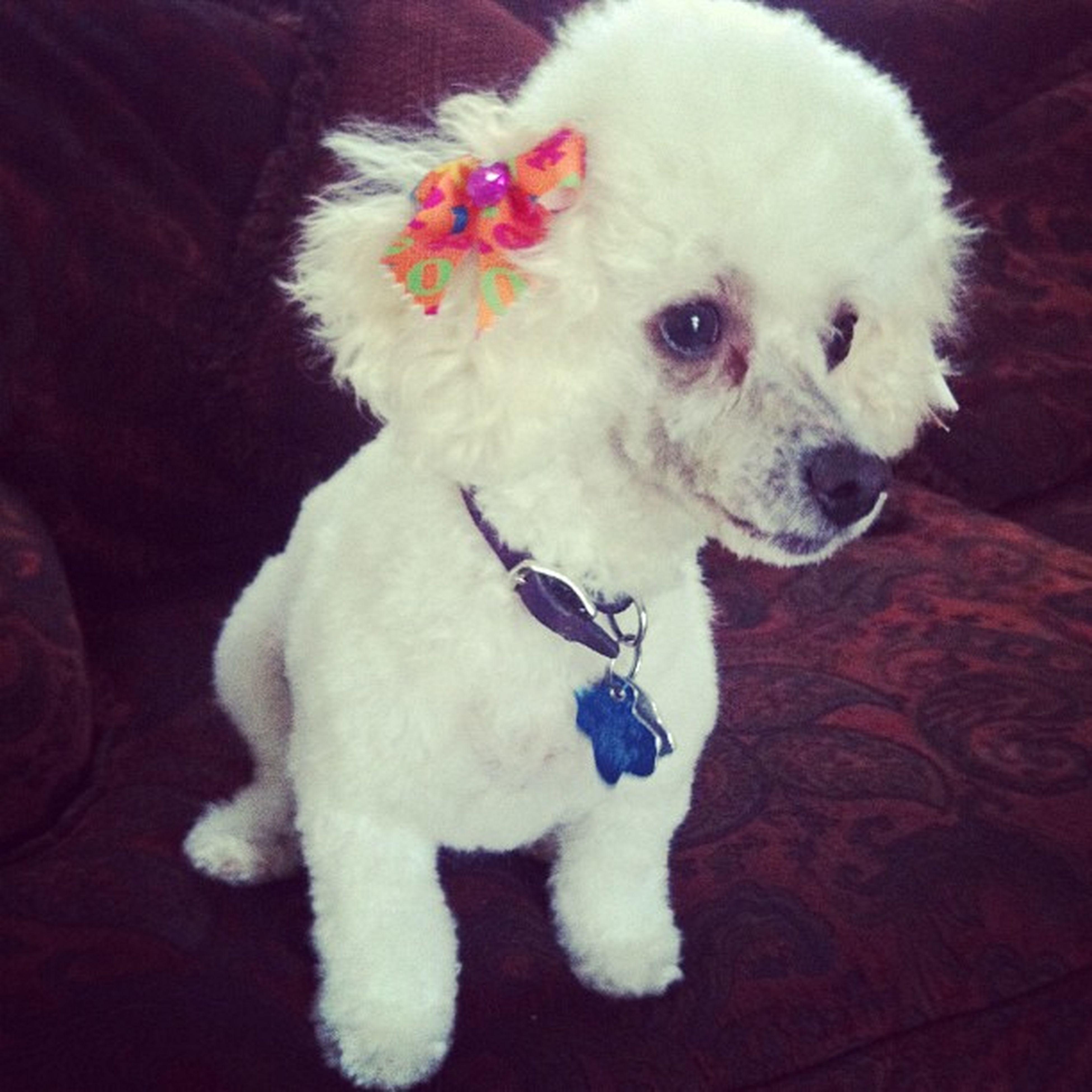 Justgroomed Poodle Shegotherhairdid