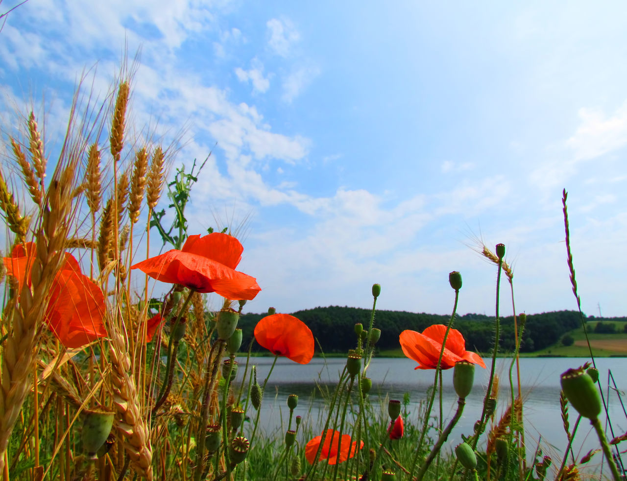 Wallpaper Day Nature Beautiful Nature Outdoors Springtime In Bloom Blooming Blossom Flowers :) Poppies  Sky River