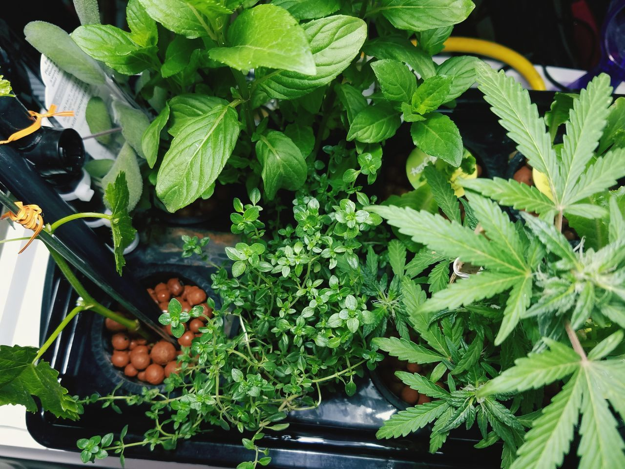 Resist Spring 2017 Hydroponic Lettuce Hydroponics Purple Sage Ginger Mint Lemon Thyme Marijuana Plant Growth Leaf Green Color High Angle View No People Freshness Herbs Hydroponic Herbs Indoors  Plant Indoor Gardening Garden Photography