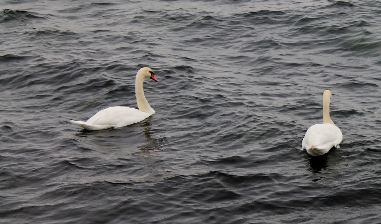 Animals Baltic Sea Bird Photography Birds Birds Of EyeEm  Birds_collection Blie Eyem Birds Swan Swan Lake Swans Swansea Swimming White