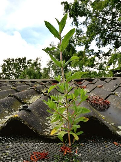 Tree Growth Outdoors Day No People Nature Plant Sky Beauty In Nature Rooftop Plant Life Plant Growing Through Concrete Holbaek Denmark 🇩🇰🇩🇰🇩🇰