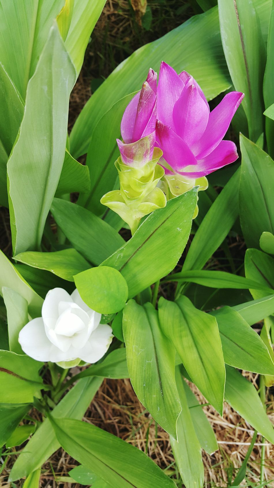 Siam Tulip Flowers Flower Collection Flowers, Nature And Beauty Flower Photography Flowerlovers Nature Nature_collection Nature Photography Natural Beauty