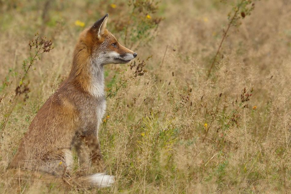 Beautiful stock photos of fuchs,  Animal Themes,  Animal Wildlife,  Animals In The Wild,  Brown